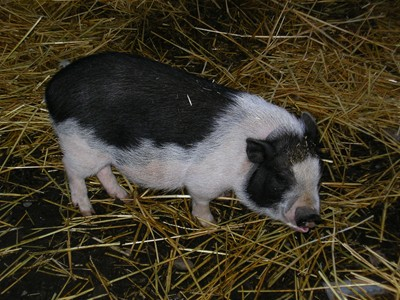 Borage, the truffling pig
